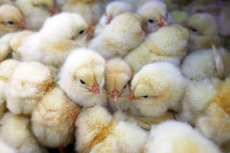 Omani contractor to build $18m chicken breeding hub