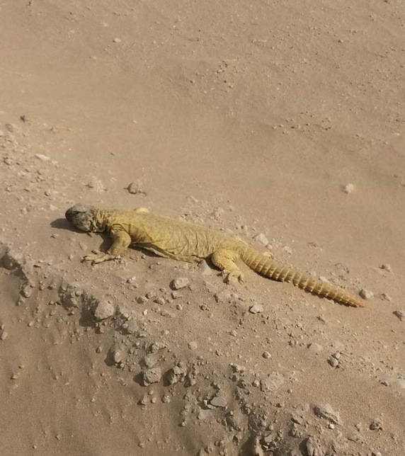 The dhub lizard was relocated from Expo 2020 Dubai's site.